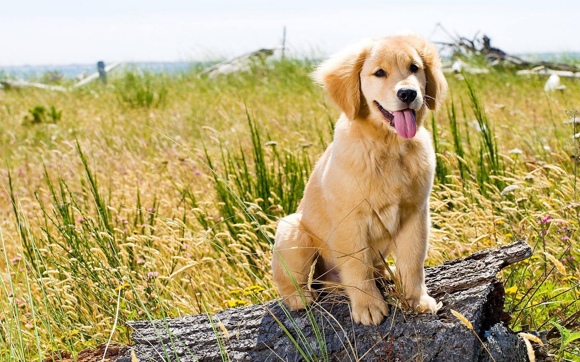 Golden Retriever Background