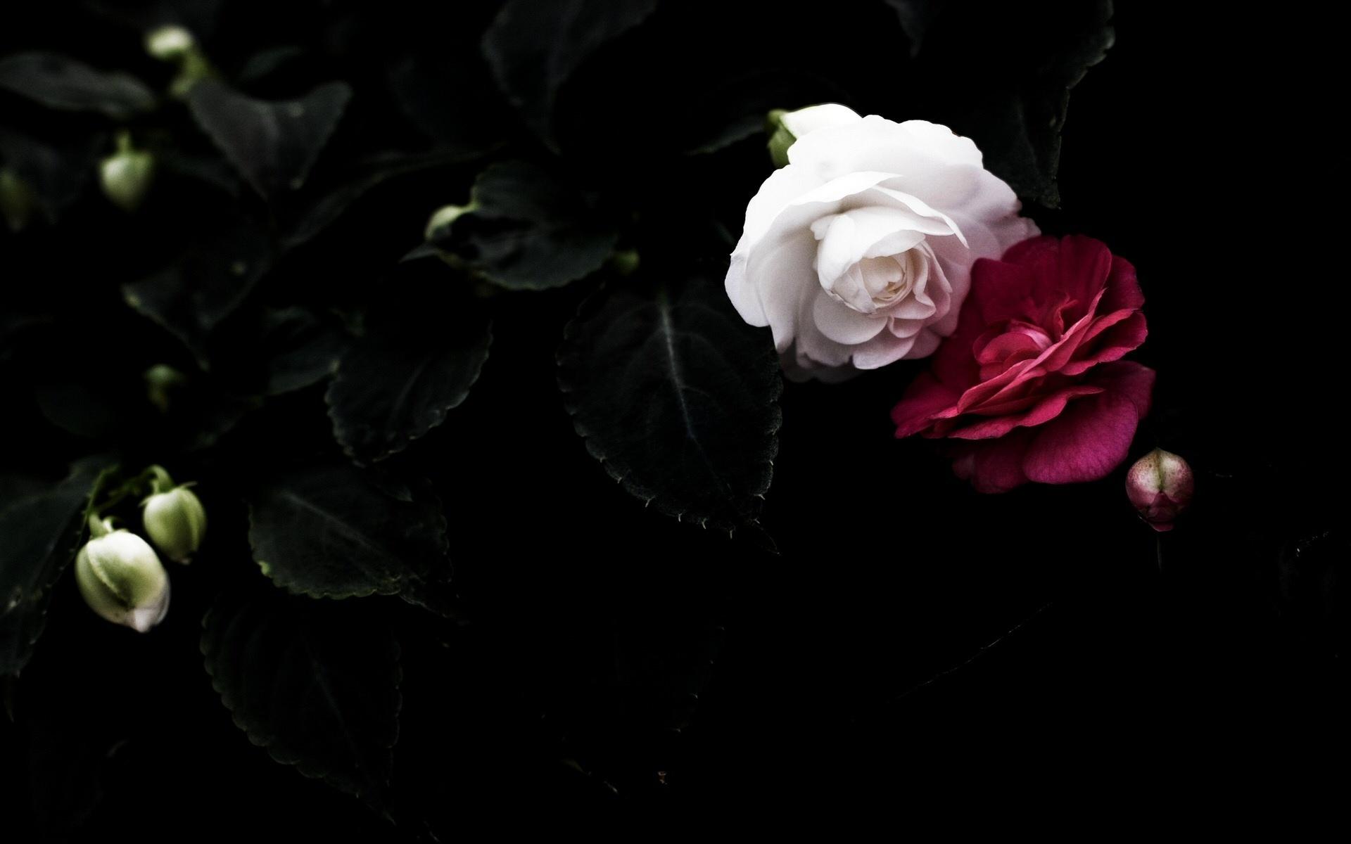 Download Roses Wallpaper Black White Leaf Pair White Red Petals