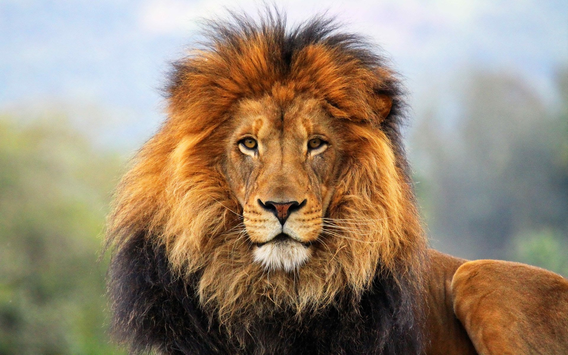 1160 Lion HD Wallpapers Background Images 1920x1200