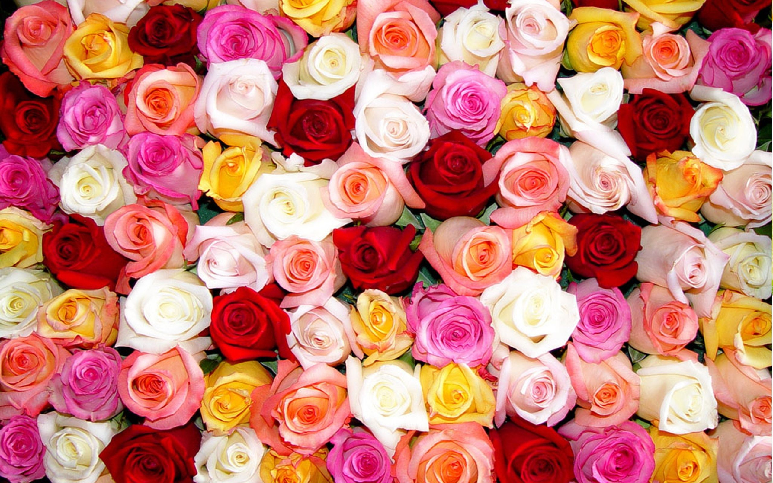 Color Roses Wallpaper HD