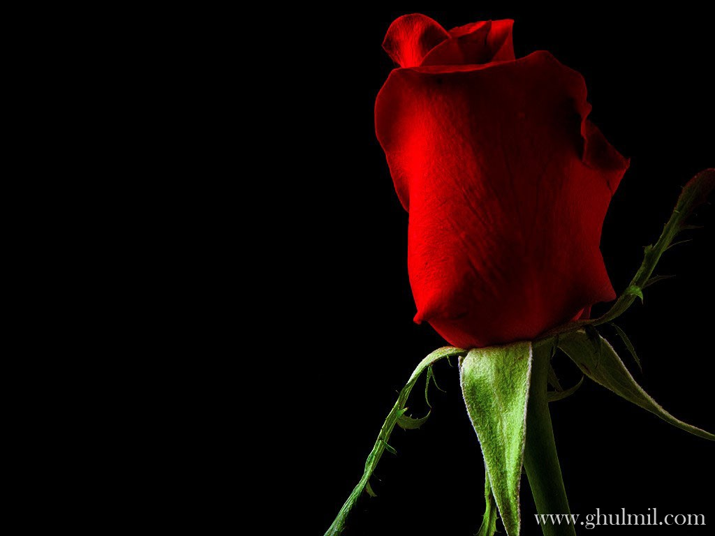 Red Rose Love Wallpaper E Entertainment 1024x768