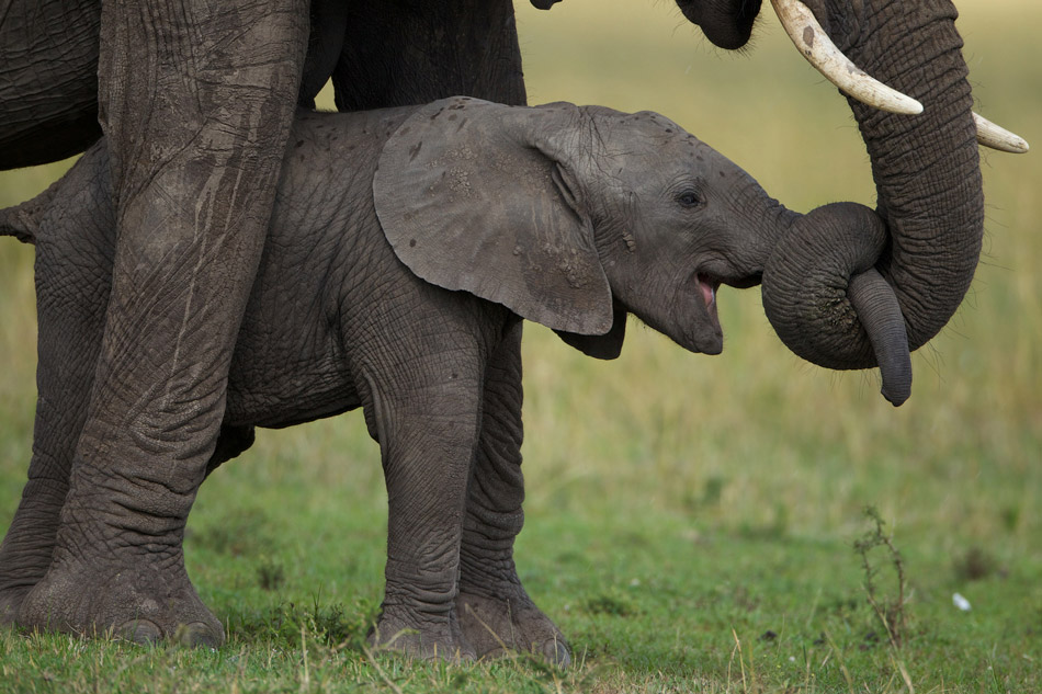 25 Cute Baby Elephant Pictures 950x633