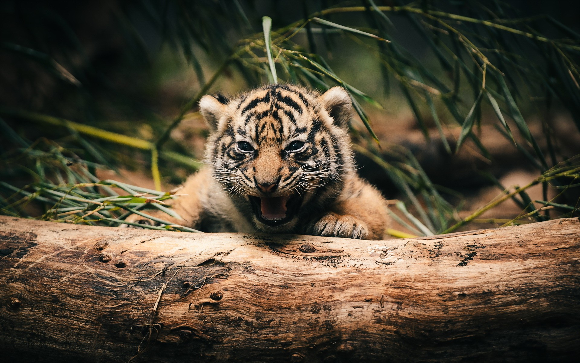 Cute Little Tiger 37108 HD Wallpaper Res 1920x1200 DesktopAScom 1920x1200