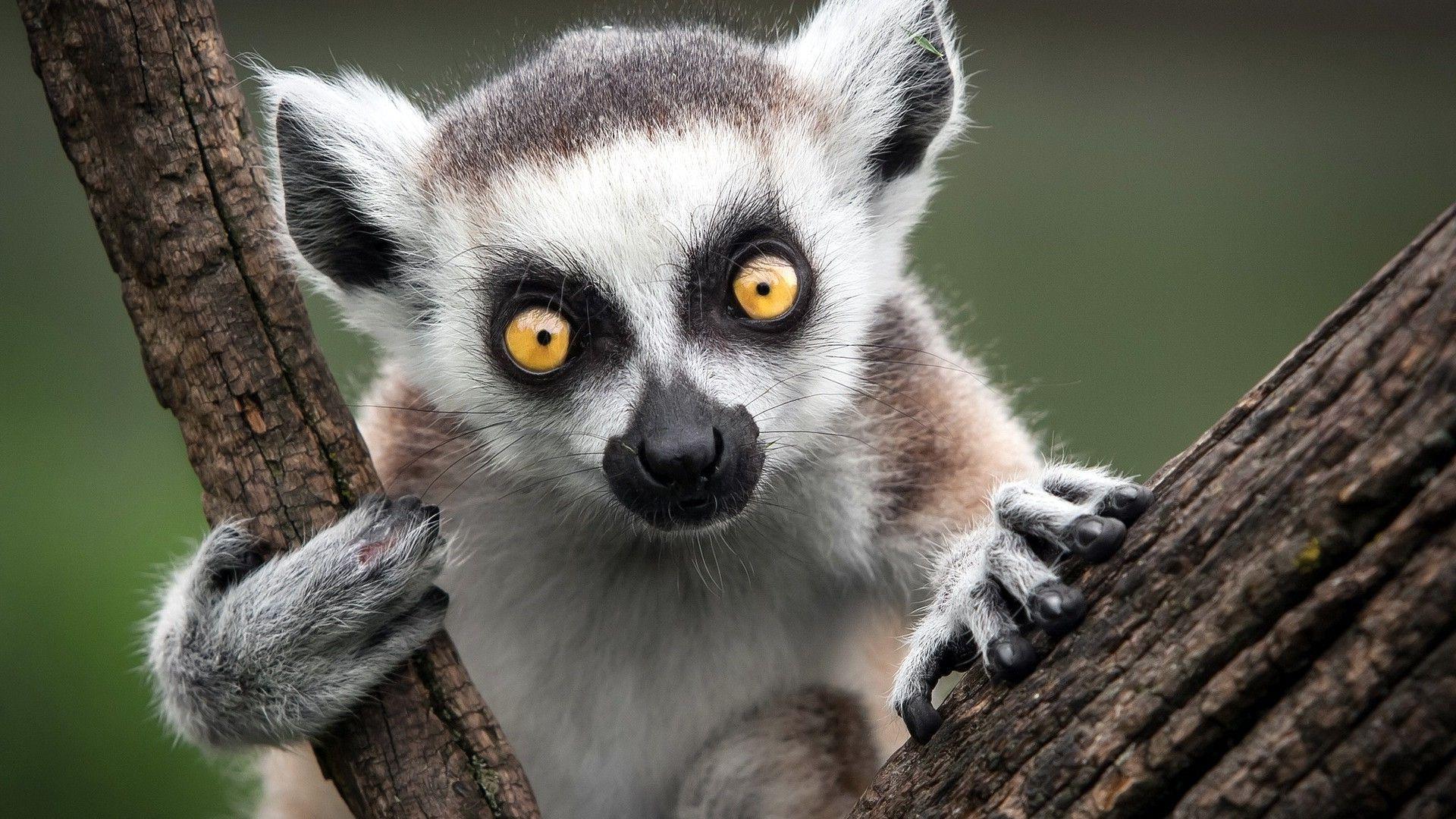 lemur wallpaper wallpapersafari