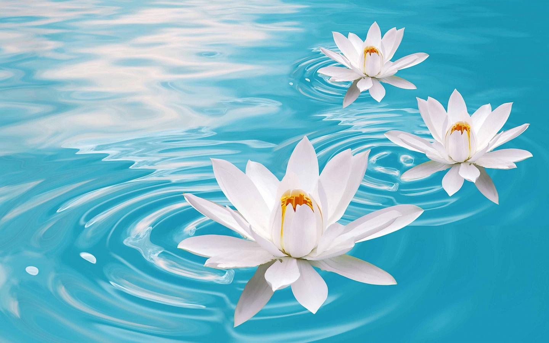 Lotus Flower Background Wallpapersafari