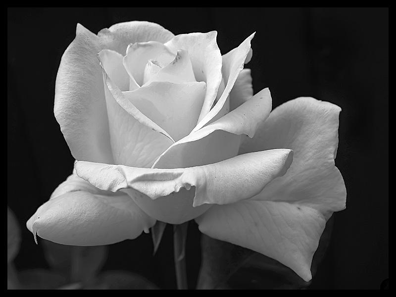 rose bud background roses deviantart flower thorns wallpapersafari buds crown hdflowerwallpaper
