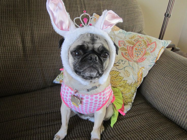 The Easter Pug stopped by today Astrid Pinterest 736x552