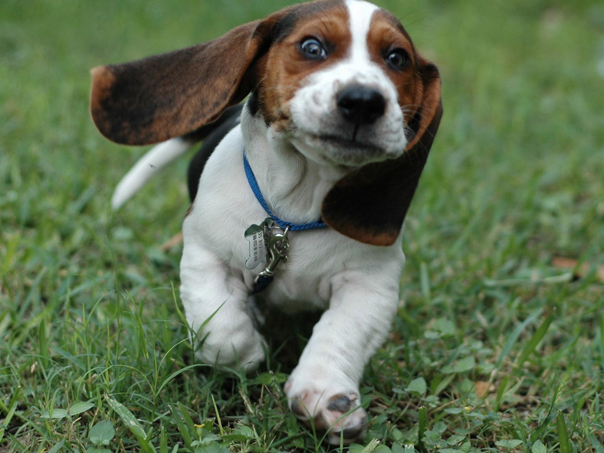 beagle puppy pictures pocket beagle puppy pocket beagle teacup beagle 1920x1440