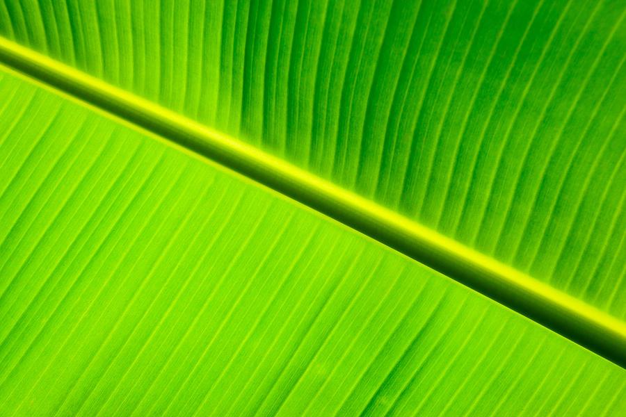 Banana Leaf Plant Banana Leaf a Detail of a 900x600