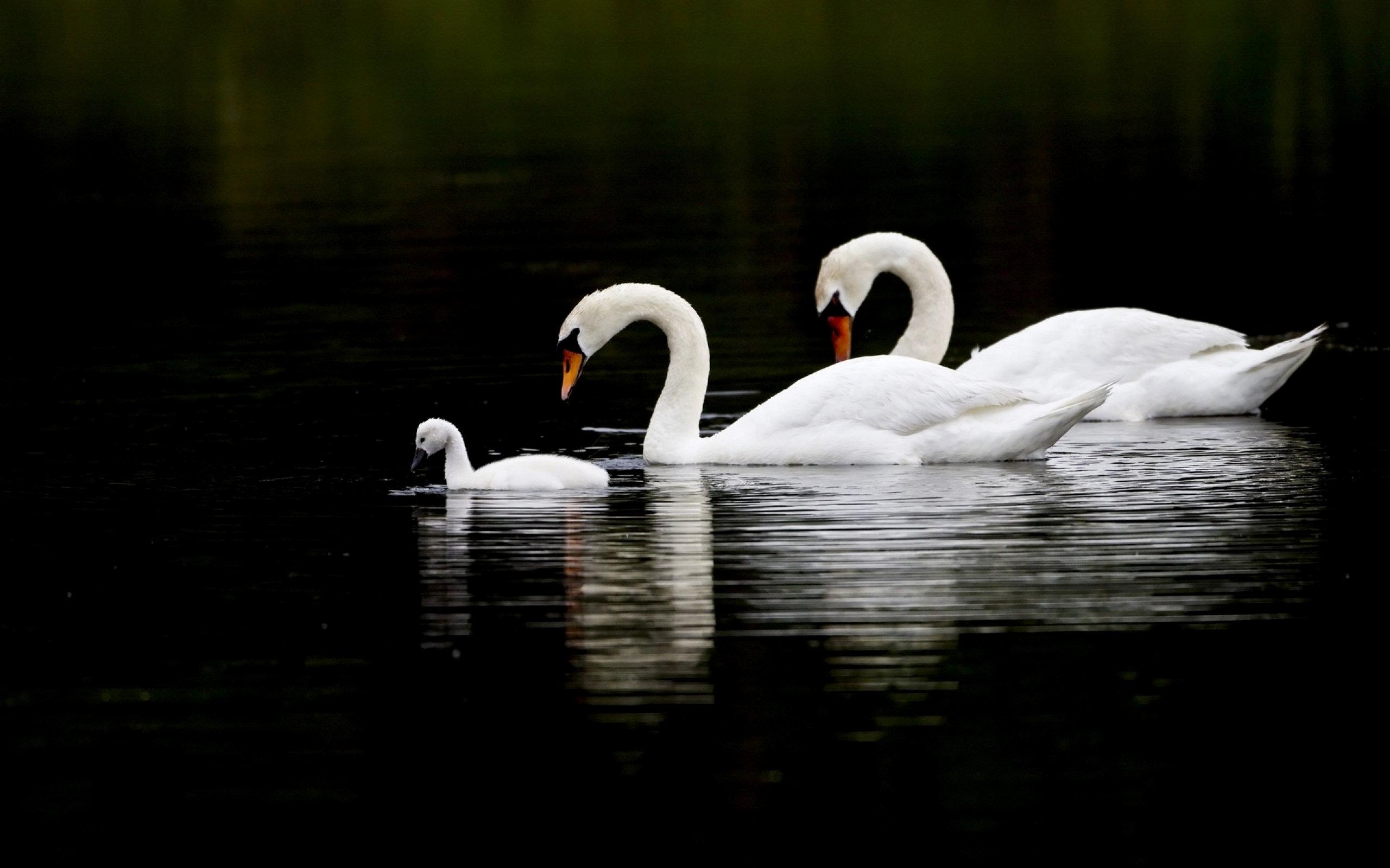 HD Swan Wallpaper Full HD Pictures 2560x1600