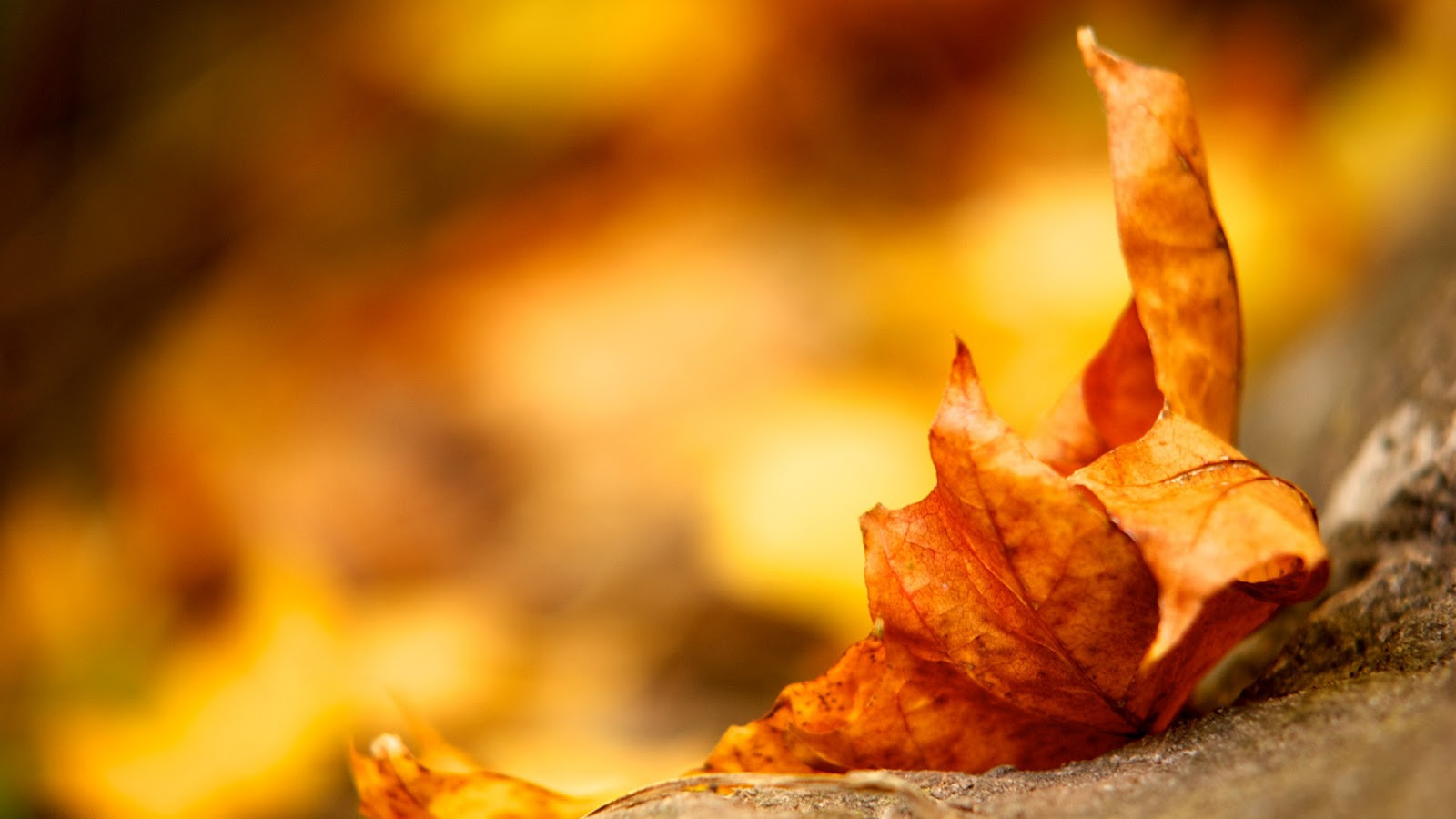 Fall Leaf Wallpaper 1600x900