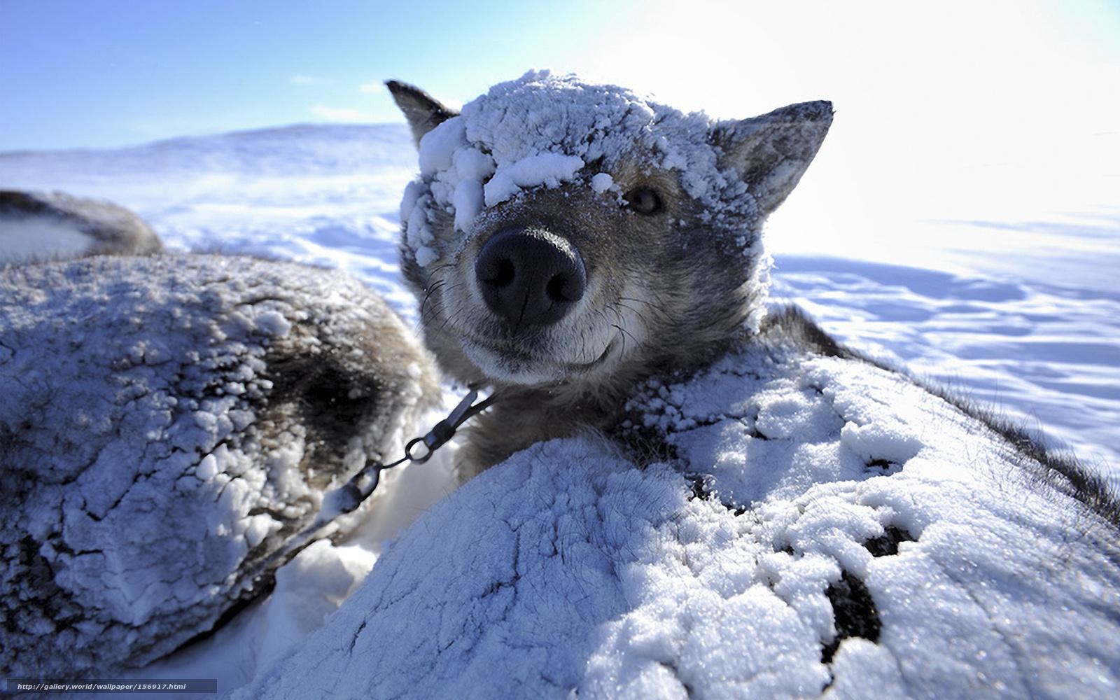 Download wallpaper animals, dog, winter, snow free desktop wallpaper ...
