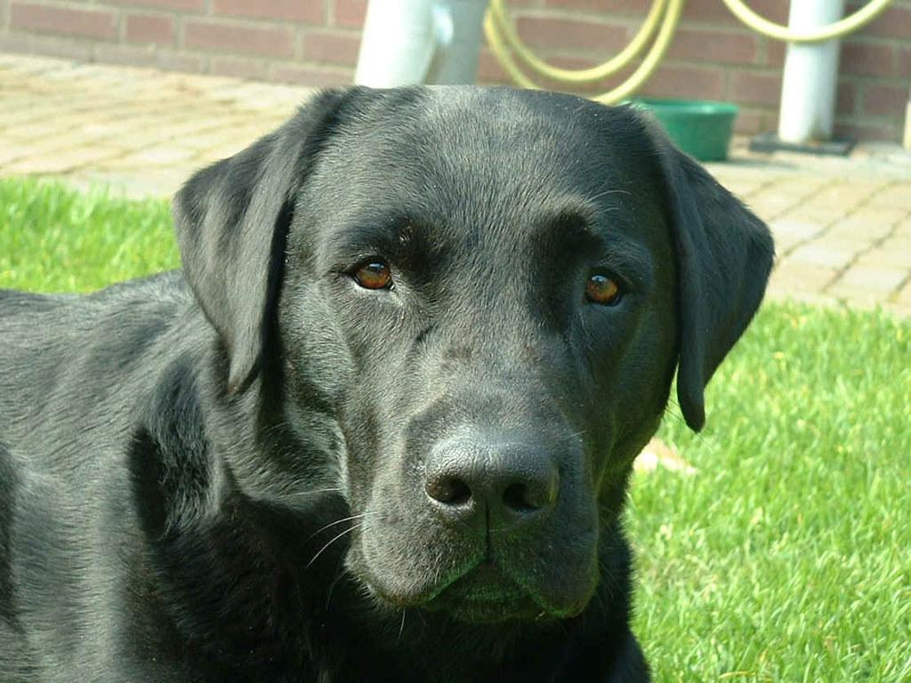 Black Labrador Retriever photo and wallpaper Beautiful Black Labrador 1024x768