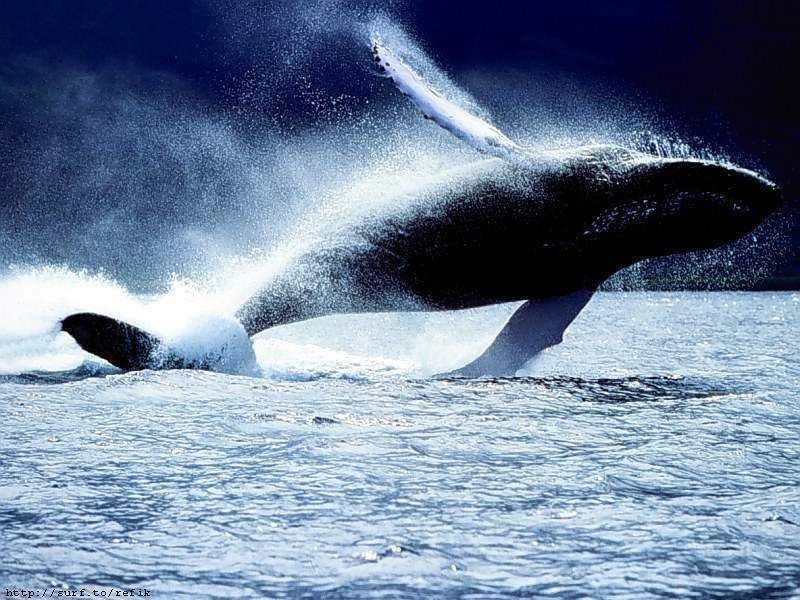 Whales images Whale HD wallpaper and background photos 9444797 800x600