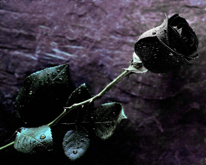 Free Download Black Rose Flower Stunning Hd Wallpapers Hd Wallapers 1500x1200 For Your Desktop Mobile Tablet Explore 76 Wallpapers Of Black Roses Black And White Rose Wallpaper Black Rose