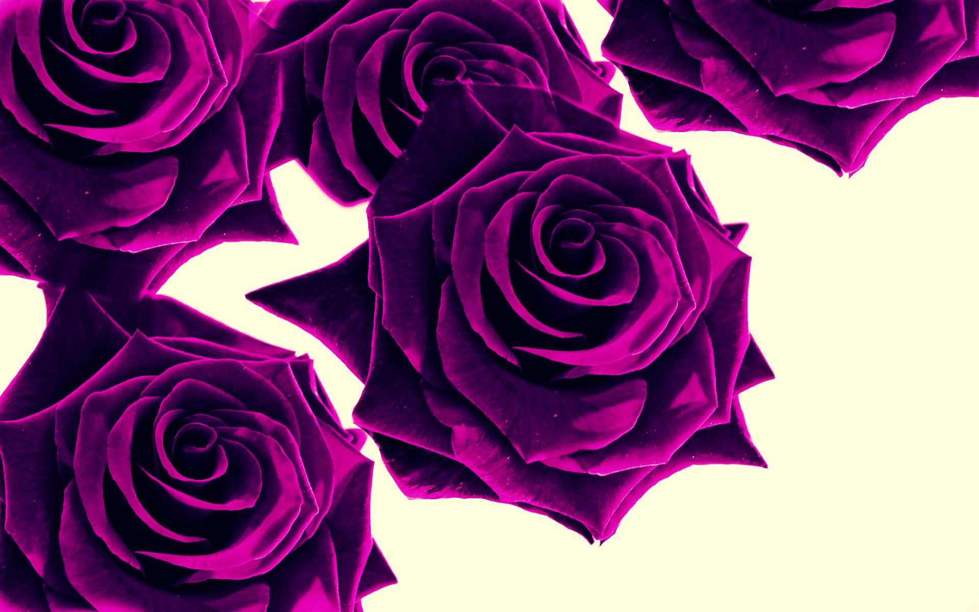 purple rose pictures wallpapers  wallpapersafari, Beautiful flower