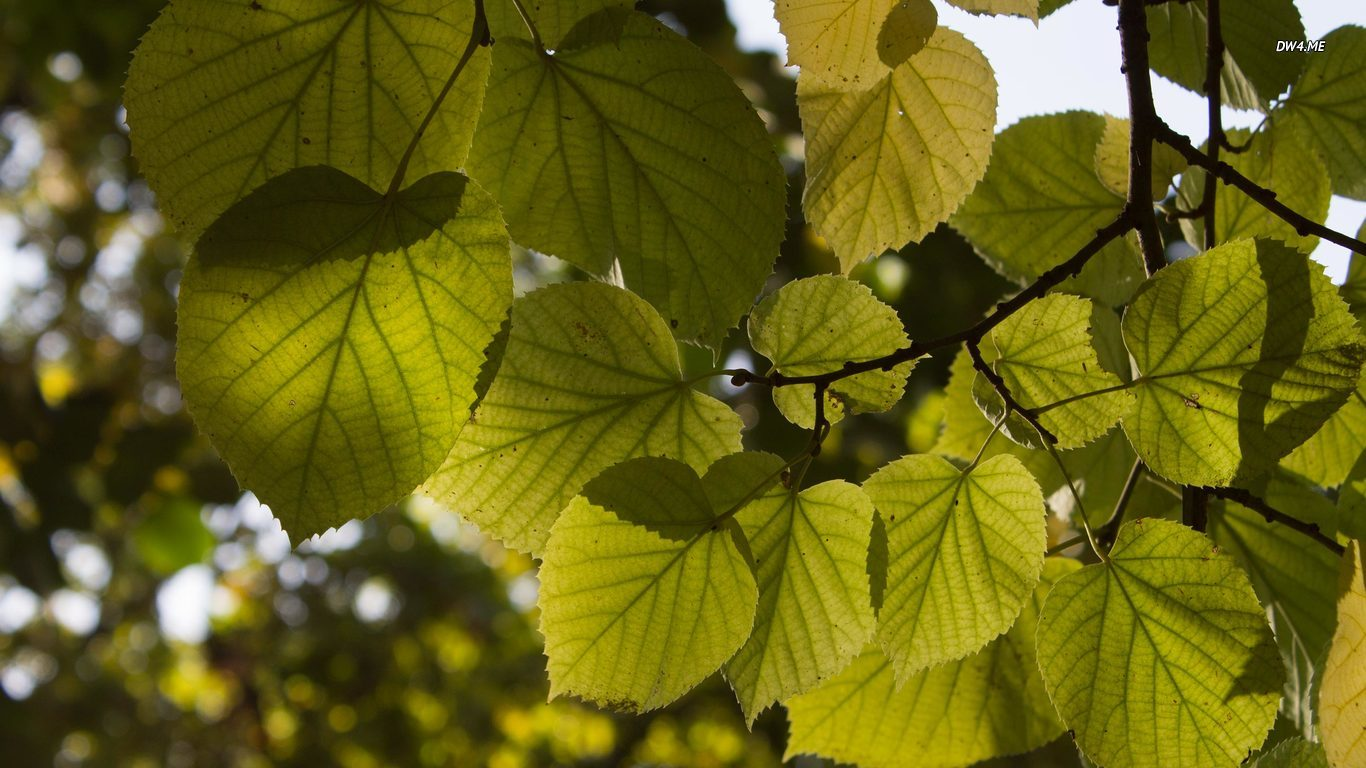 Green and yellow linden leaves wallpaper 2560x1600 Green and yellow 1366x768