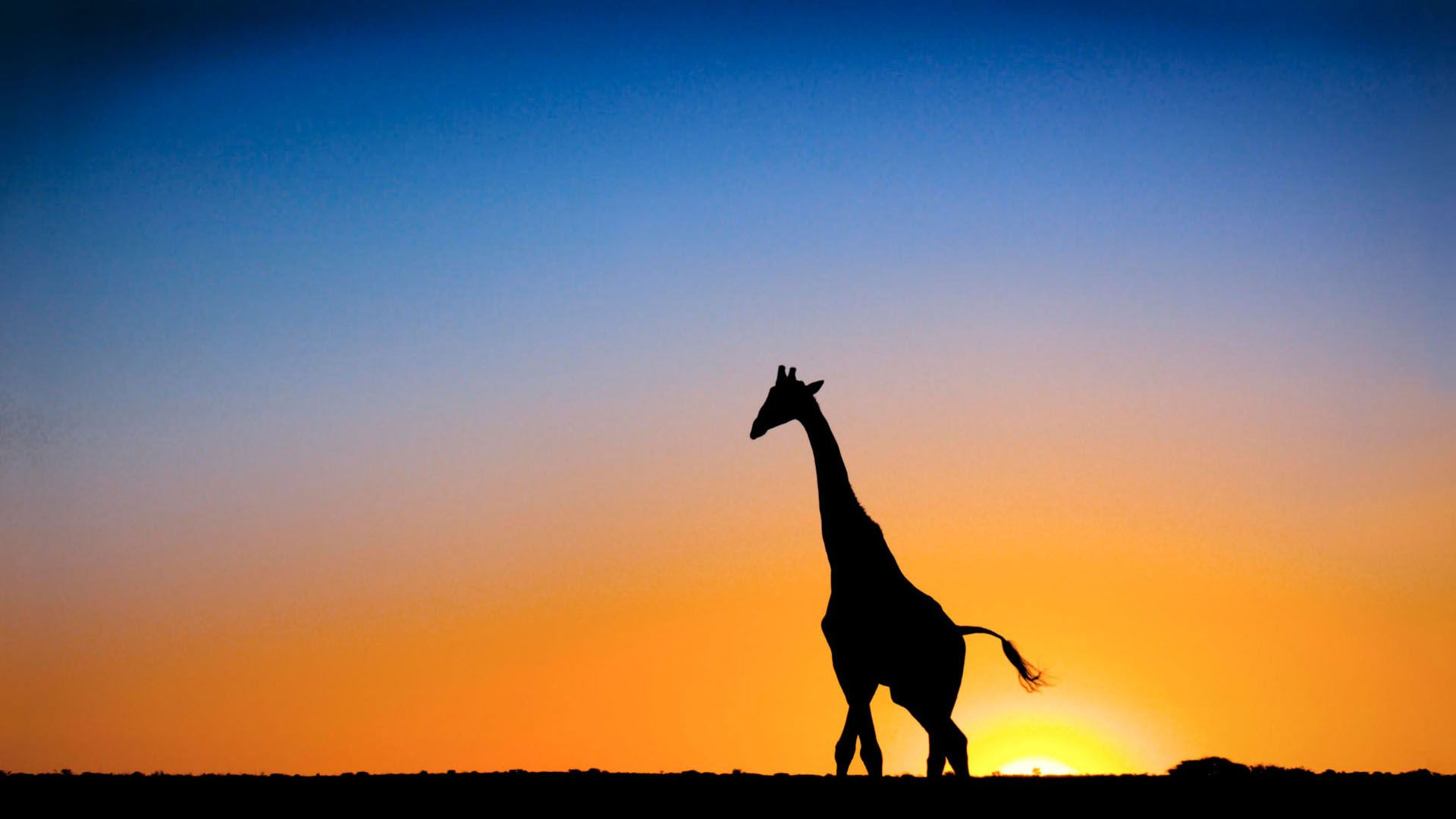 Sunset Giraffe Botswana 1080p HD Wallpaper Nature Life 1920x1080