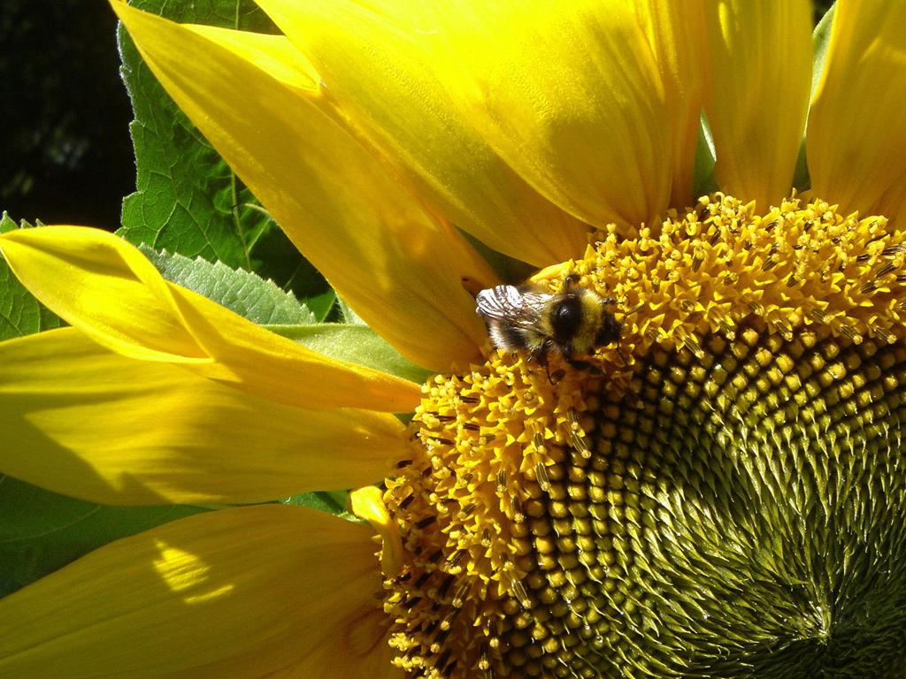 Bee Wallpapers 1024x768