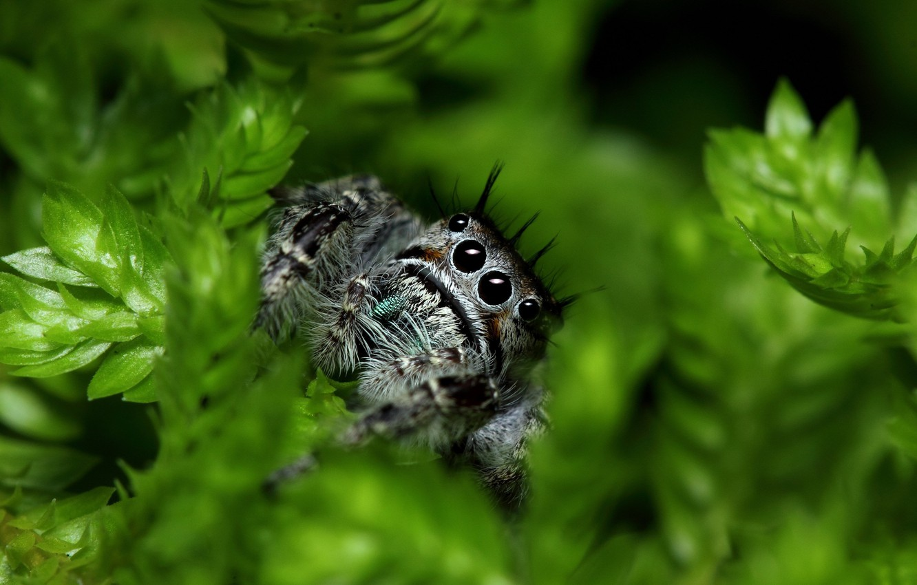 Wallpaper spider eyes leaves paws vegetation Jumping Spider 1332x850