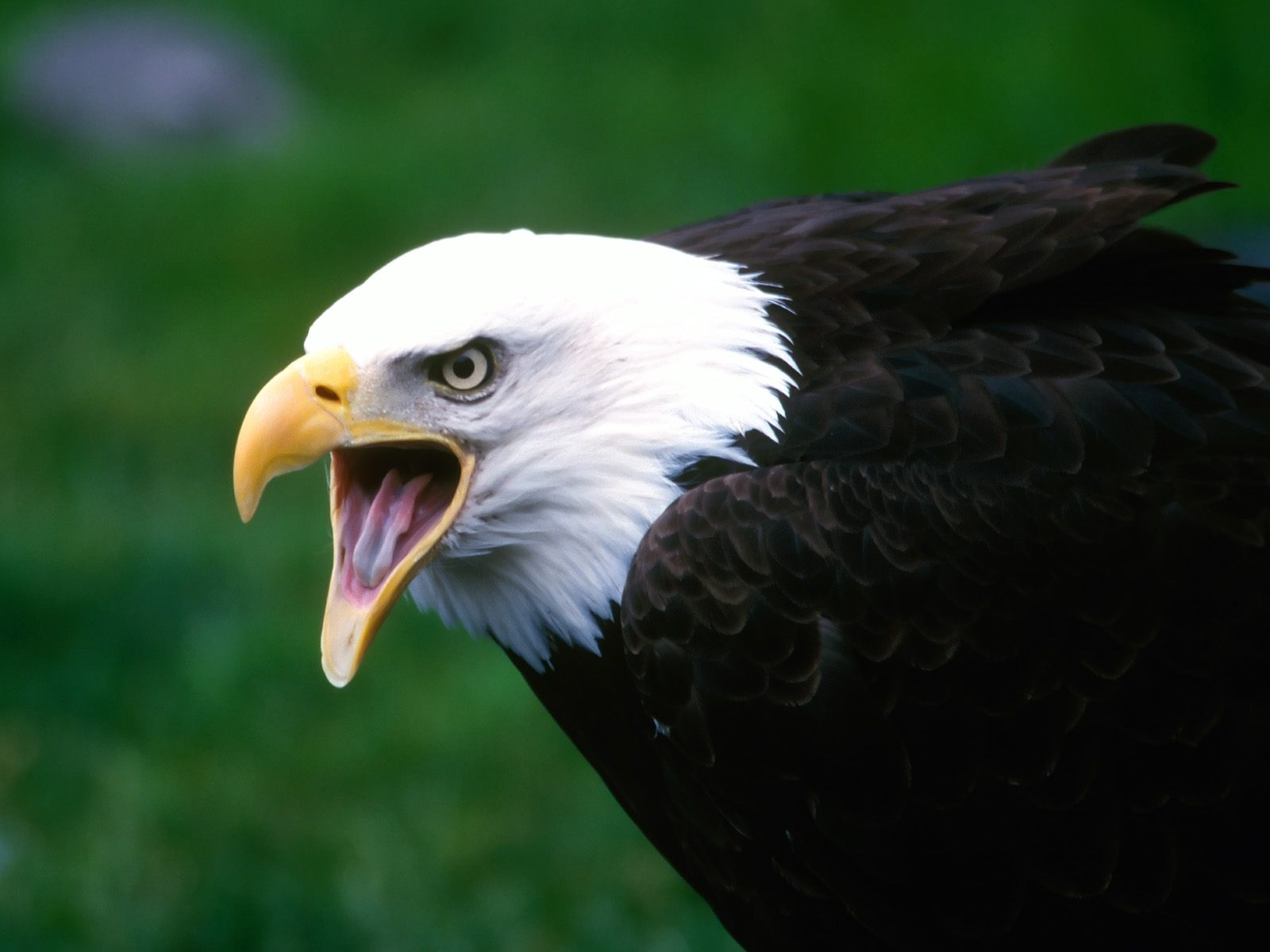 Screaming Eagle Wallpapers HD Wallpapers 1600x1200