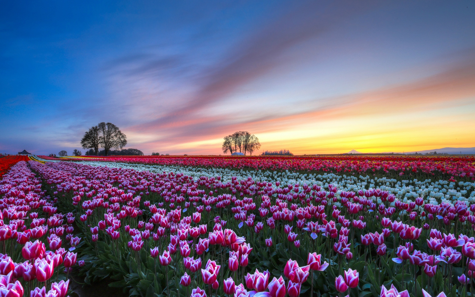 Beautiful Tulips Field Hd Wallpaper Wallpaper List 1920x1200