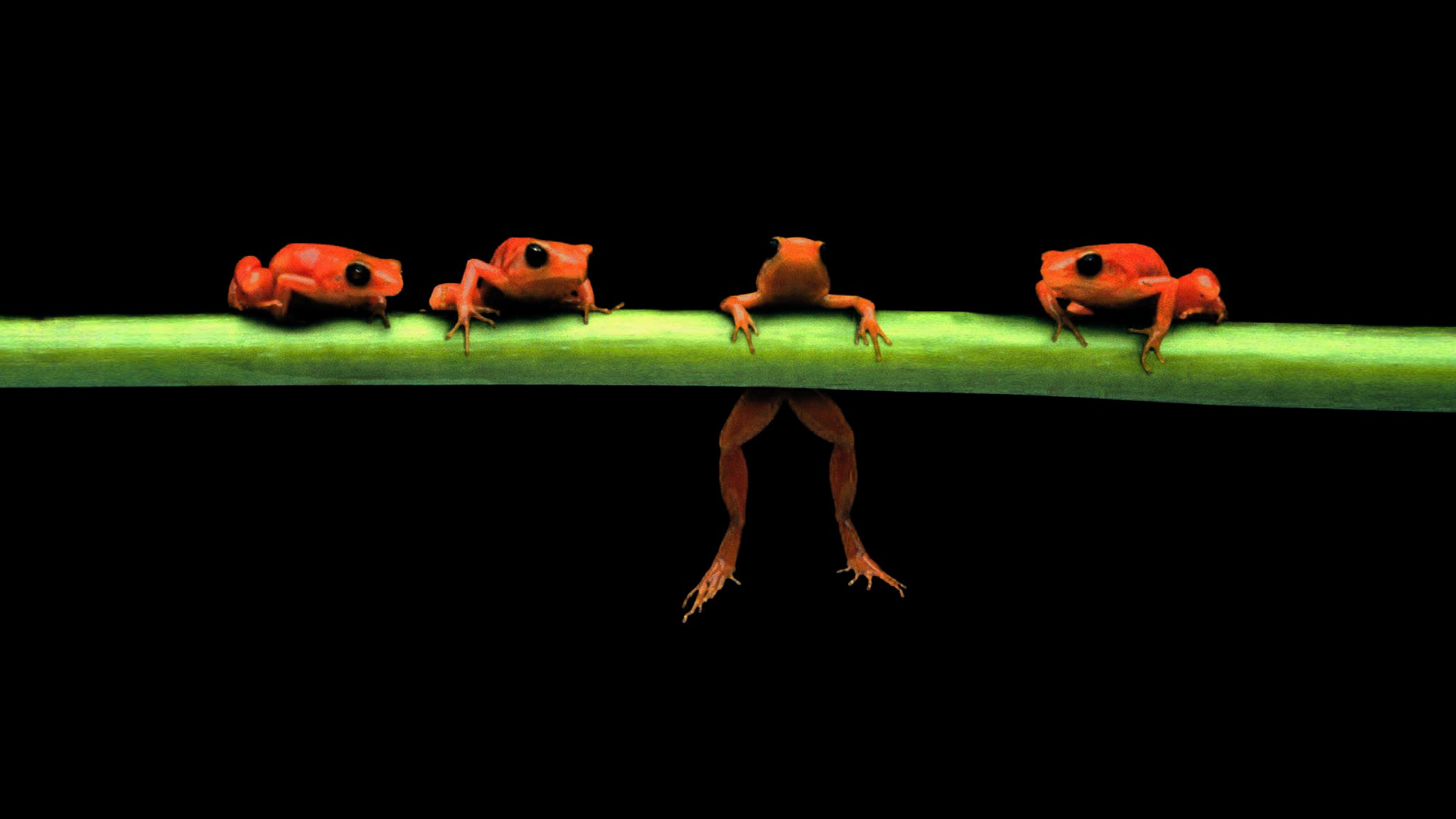 hanging Frogs Black Background Amphibians Wallpapers HD 2048x1152
