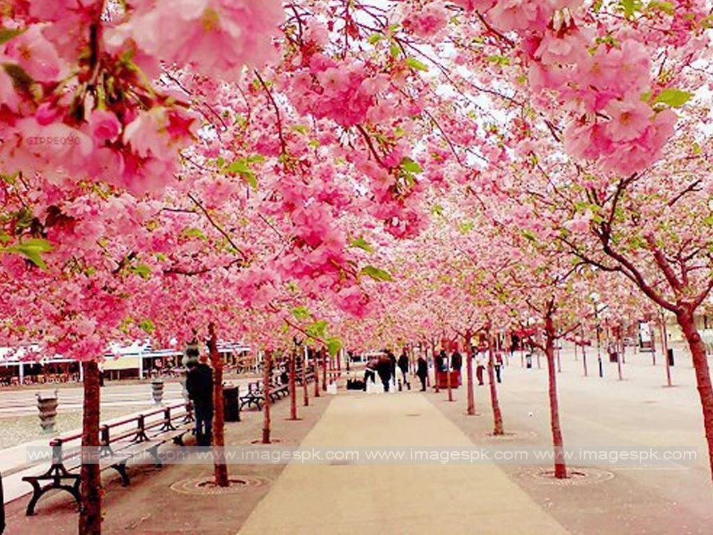 Cherry Blossom Wallpaper Desktop images 1024x768