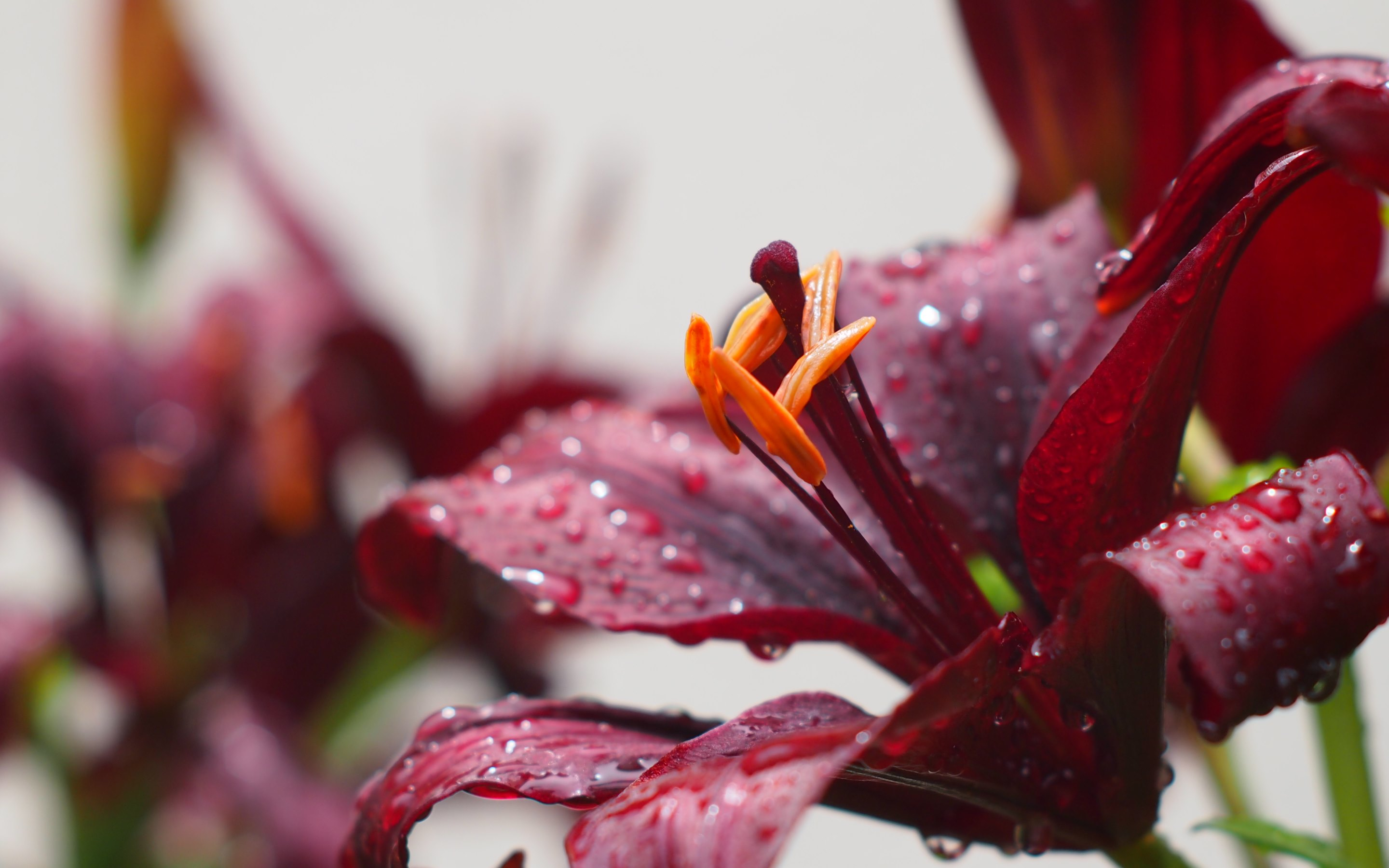 Burgundy Flowers and Rain Drops 2880x1800