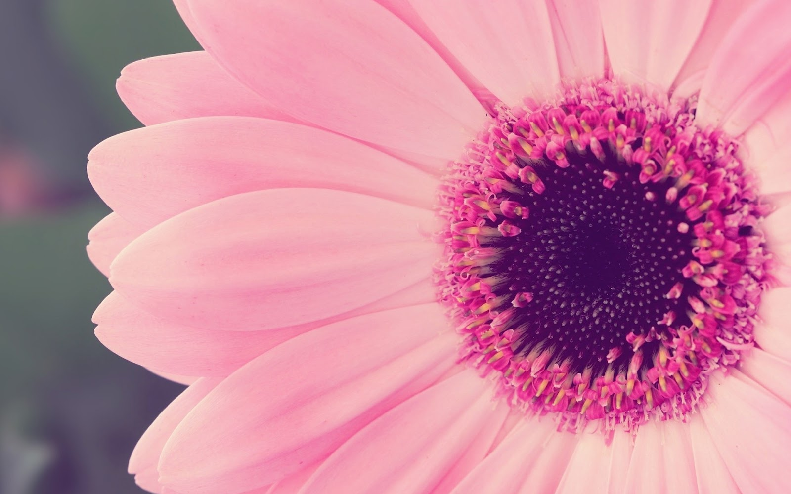 Canada Floral Delivery Blog A Few Facts About Gerbera Daisies 1600x1000