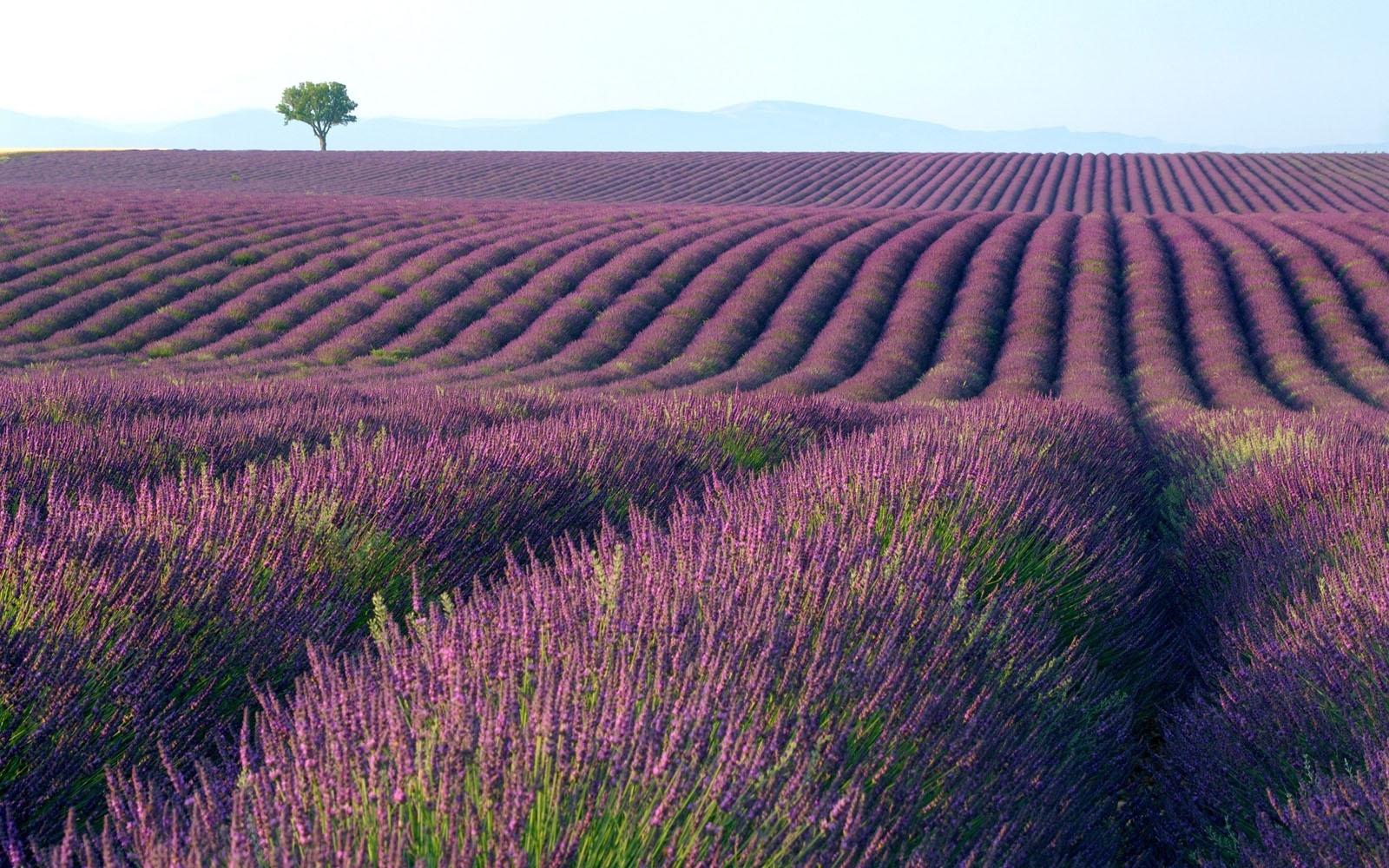 Lavender Field Wallpaper 1600x1000
