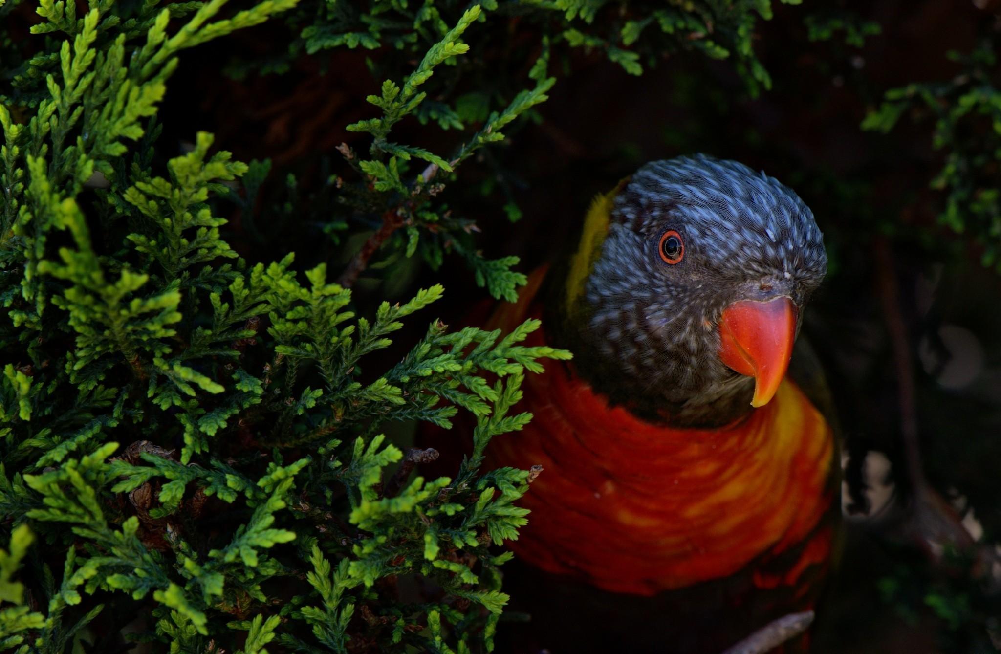 Cute Birds hd Wallpapers 1080p Cute Bird Parrot hd Wallpaper 2048x1338