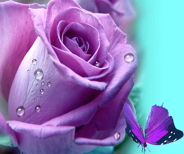Purple Rose Live Wallpaper   Android Apps on Google Play 600x500