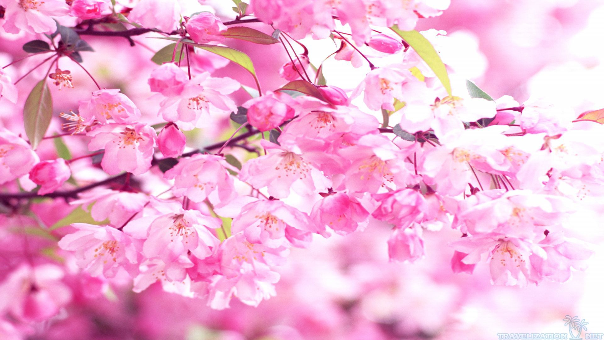 Pink Cherry Blossom Wallpaper - WallpaperSafari