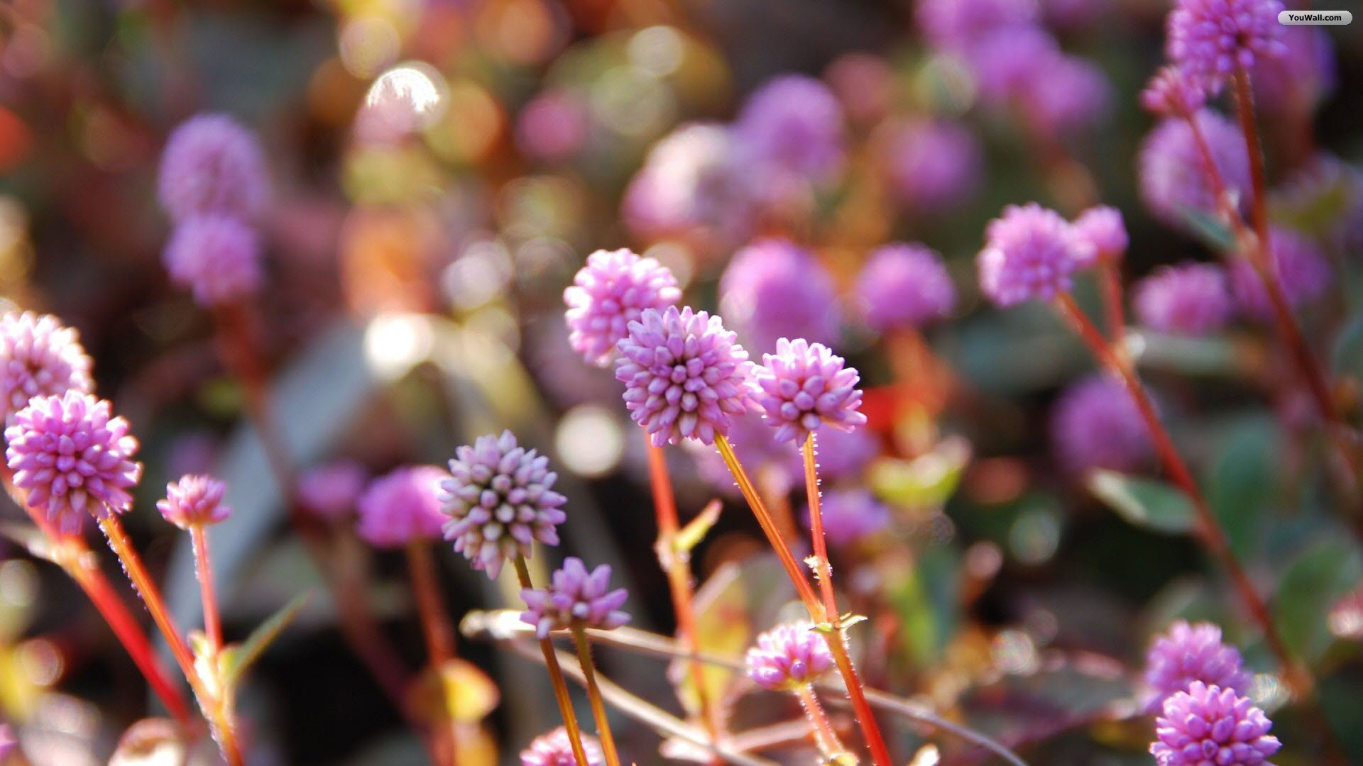 Little Pink Flowers Wallpaper   wallpaperwallpapersfree wallpaper 1920x1080