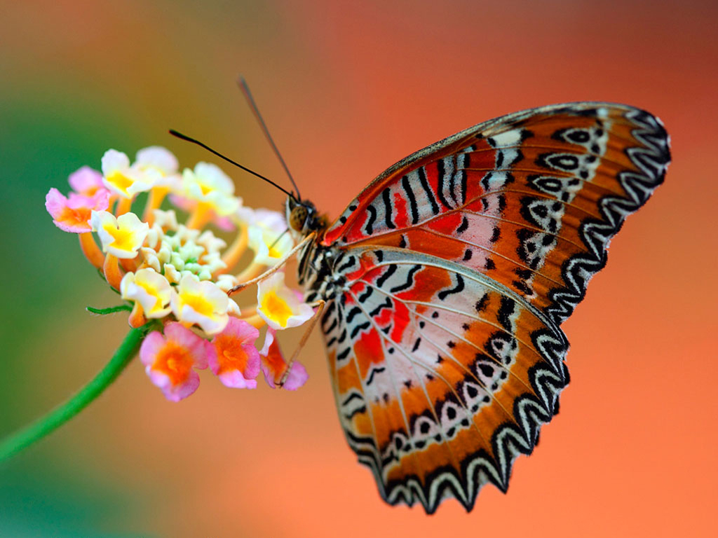 Beautiful Butterfly Wallpapers for Desktop - WallpaperSafari