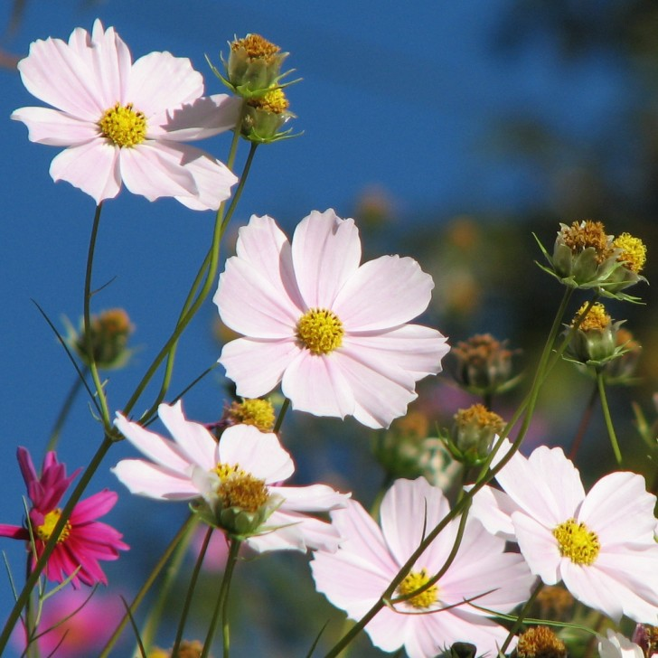 Beautiful Cosmos Spring Flower Wallpaper   Beautiful Cosmos Spring 728x728