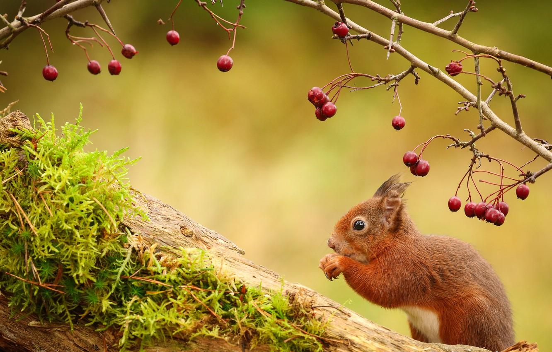 Wallpaper berries sprig animal Protein images for desktop 1332x850