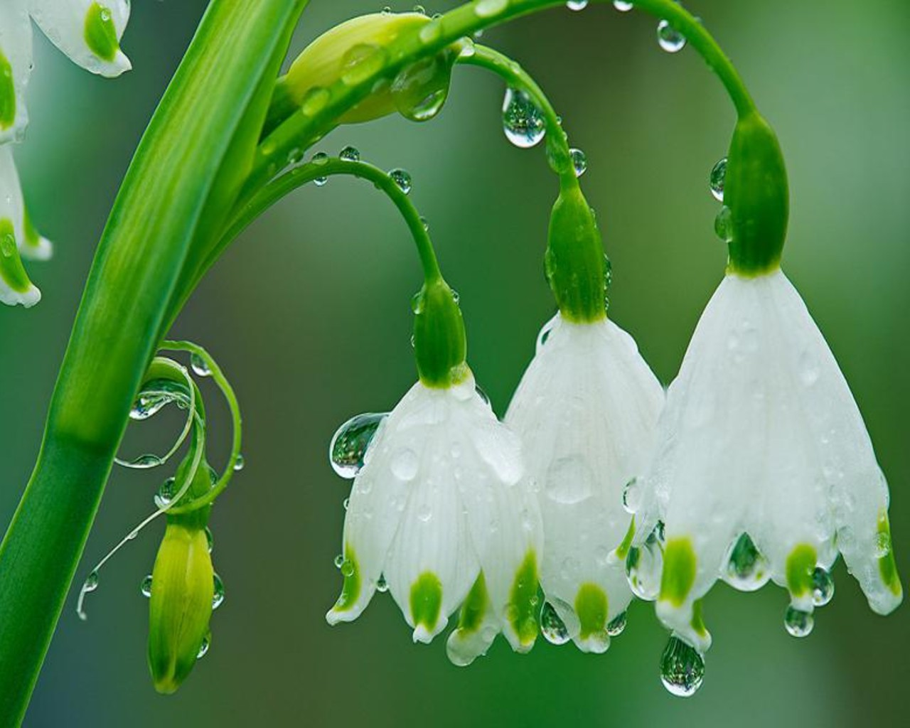 Rain Flowers Wallpaper 1280x1024 Rain Flowers Garden Spring 1280x1024