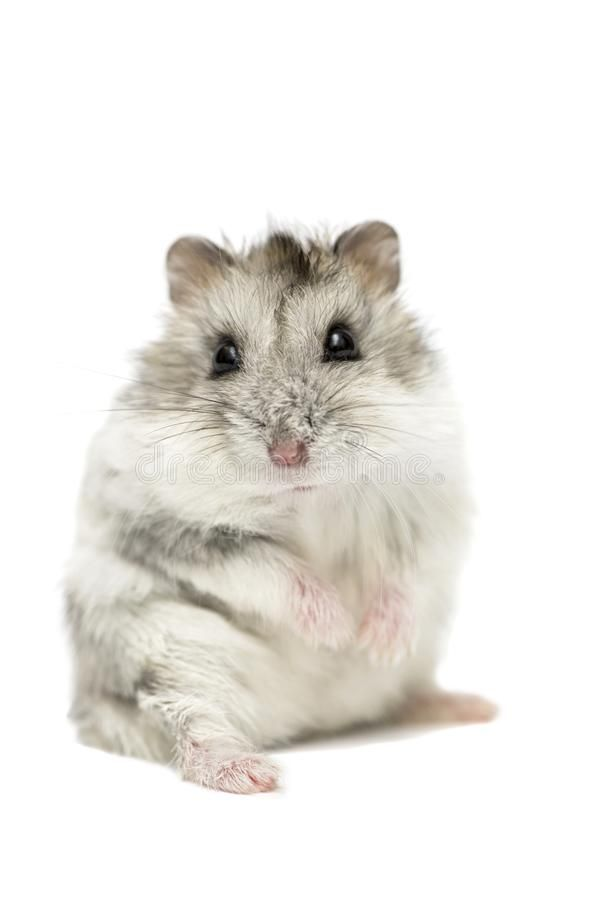 Cute funny Syrian hamster isolated on white Syrian hamster 601x900