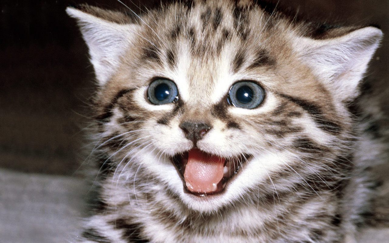 Cute Kitten Wallpaper   Kittens Wallpaper 16094681 1280x800