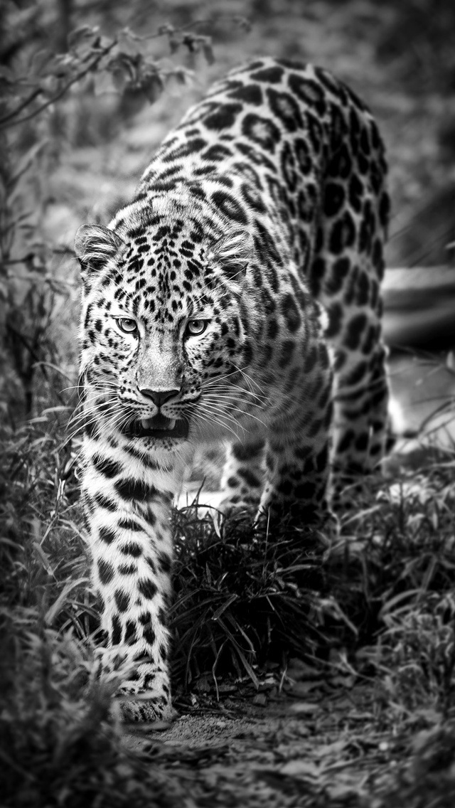 Leopard Black and White Wallpaper   iPhone Wallpapers 640x1136