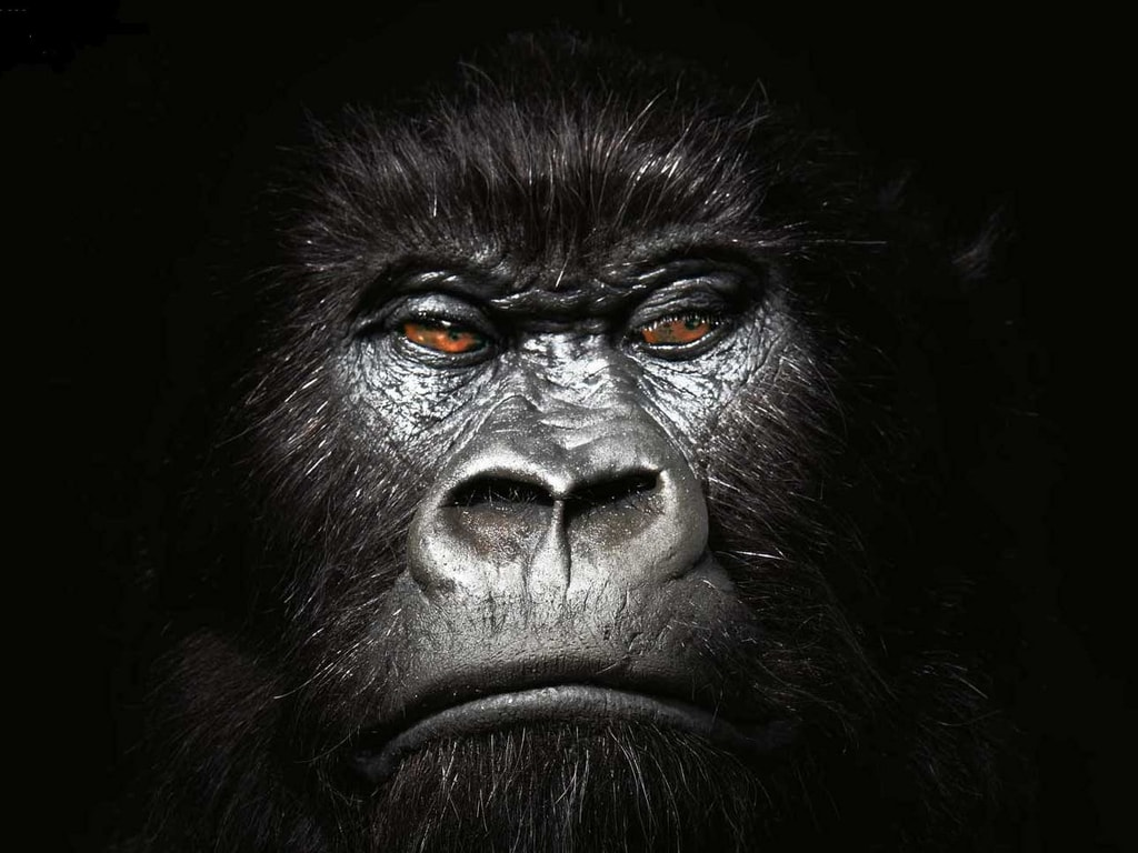 Gorilla HD Wallpapers 7wallpapersnet 1024x768