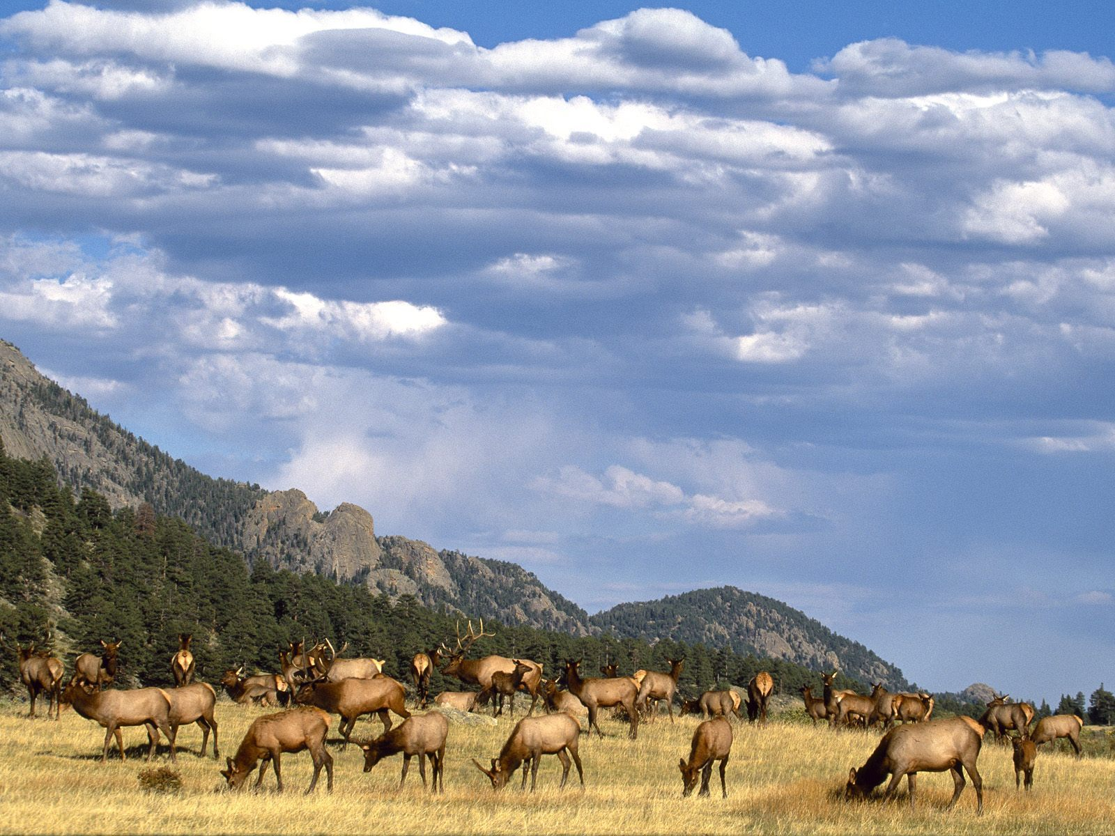 Elk herd desktop PC and Mac wallpaper