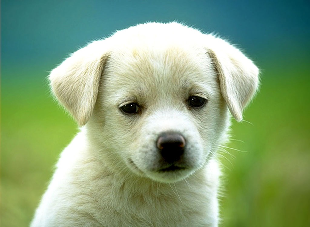 Photo of Sad Puppy Faces Wallpaper 1024x751