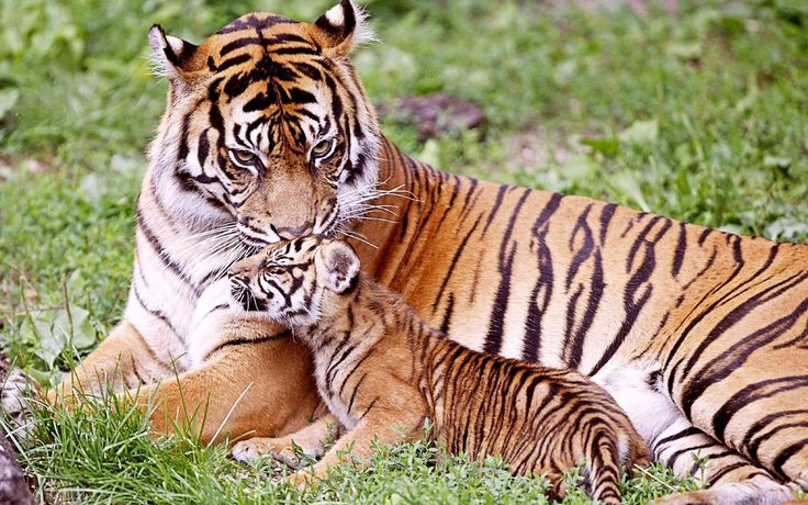 Cool Baby tiger with his mom Wallpaper Animals Pinterest 736x460