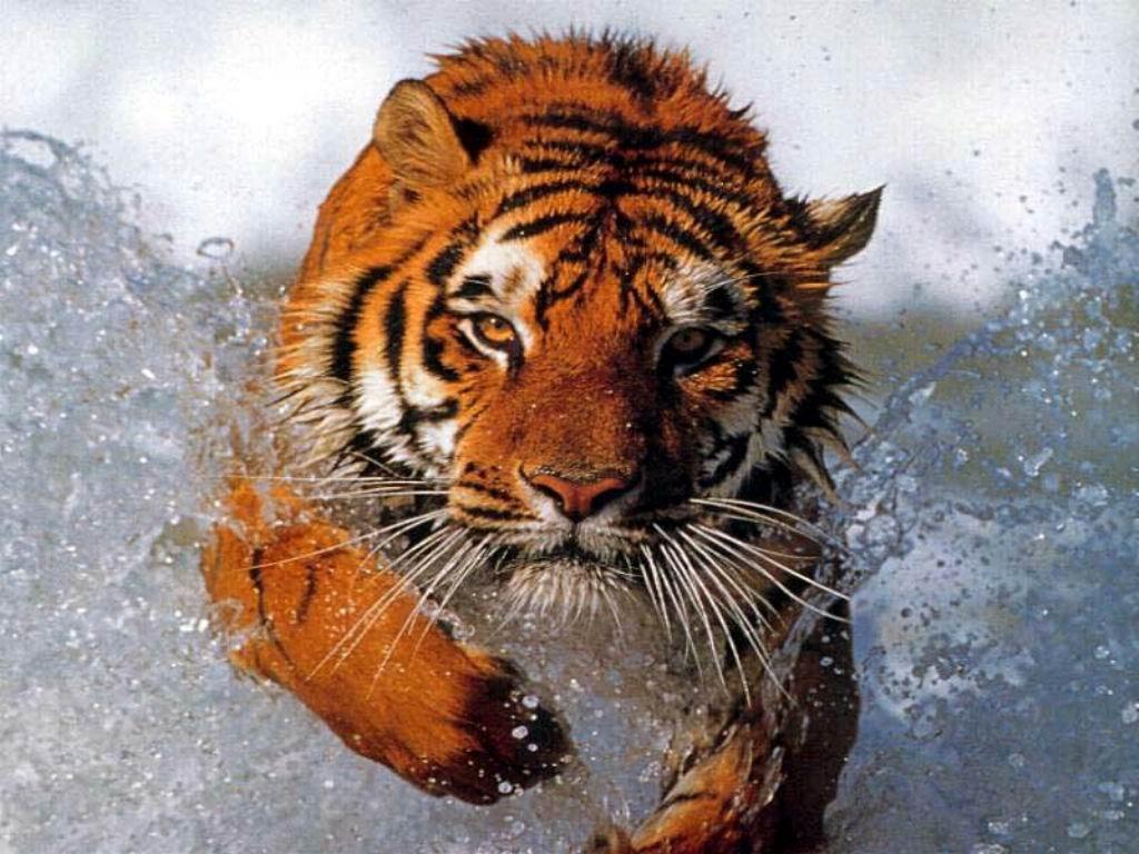 Desktop Tiger Wallpaper 1024x768
