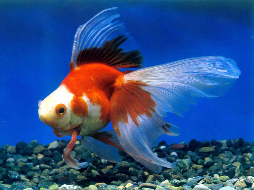 Chinese goldfishpet goldfishgold fish picture 12 High Definition 1024x768