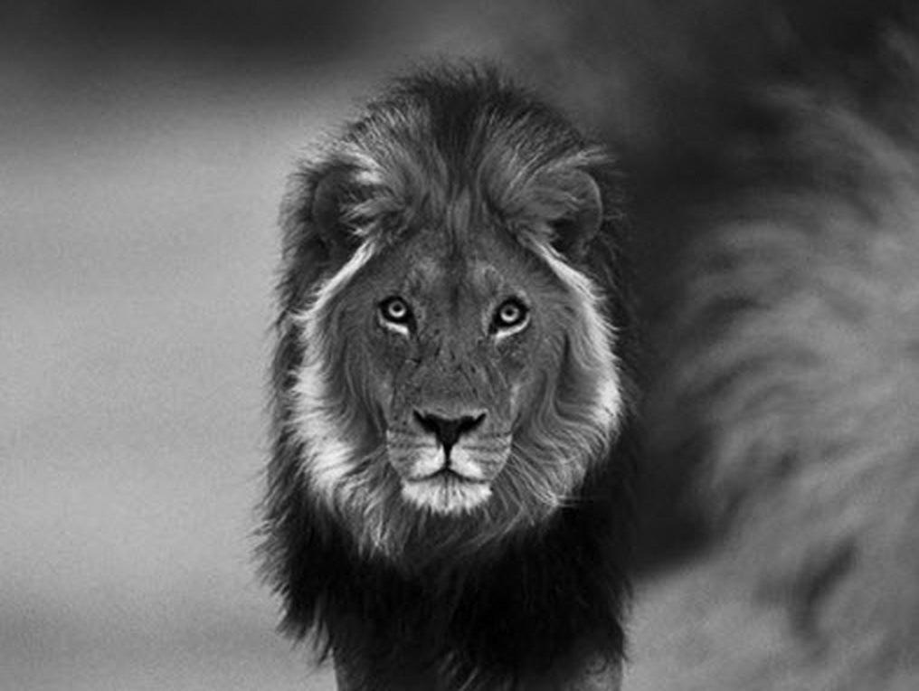 lion wallpaper black and white wallpapersafari