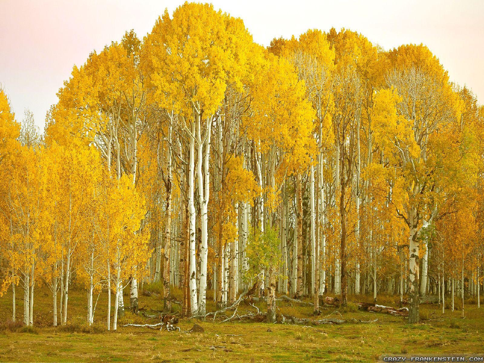 incredible birch tree wall - photo #26